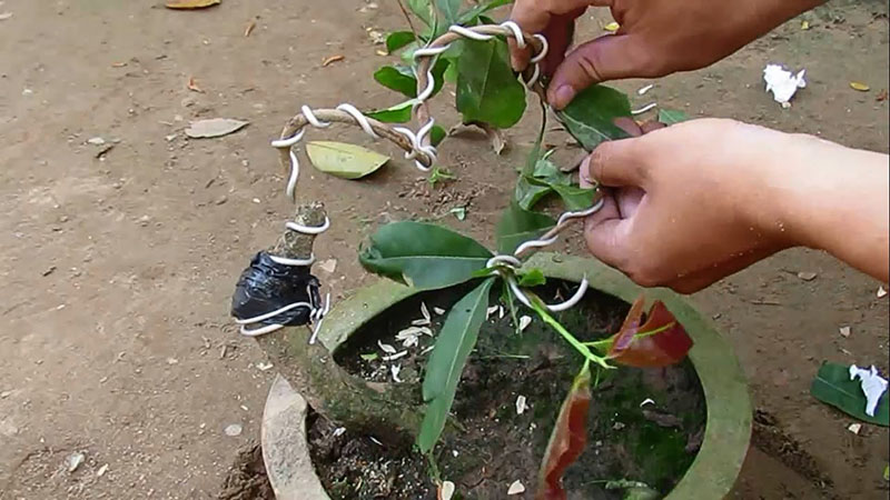 Cách tạo dáng cây mai vàng bằng dây kẽm