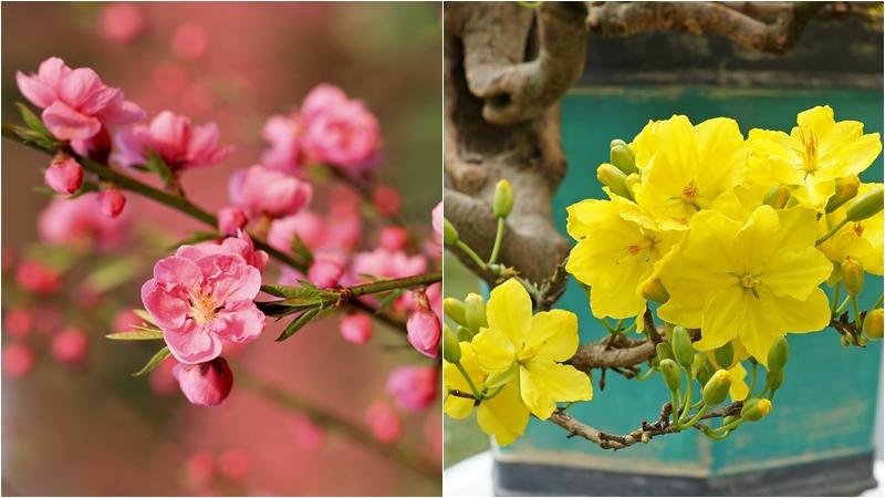 Nên chọn hoa đào, hoa mai để chưng bàn thờ ngày Tết