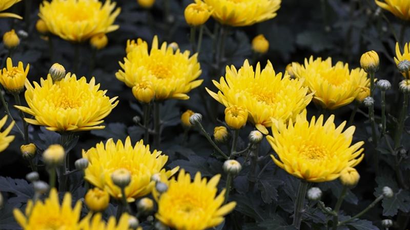 Nên chọn hoa cúc vàng để chưng bàn thờ ngày Tết