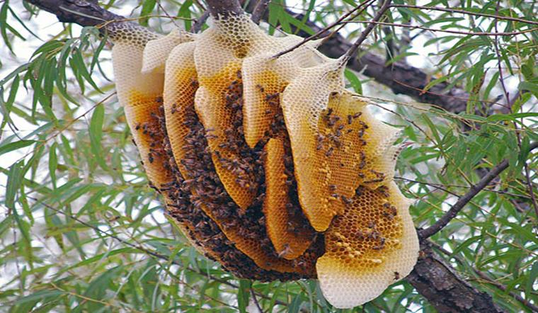 Mật ong rừng, mật ong nguyên chất khác nhau như thế nào