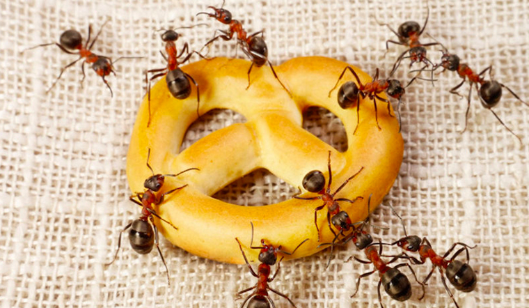 Cách đuổi kiến hiệu quả để kiến không bò vào đồ ăn