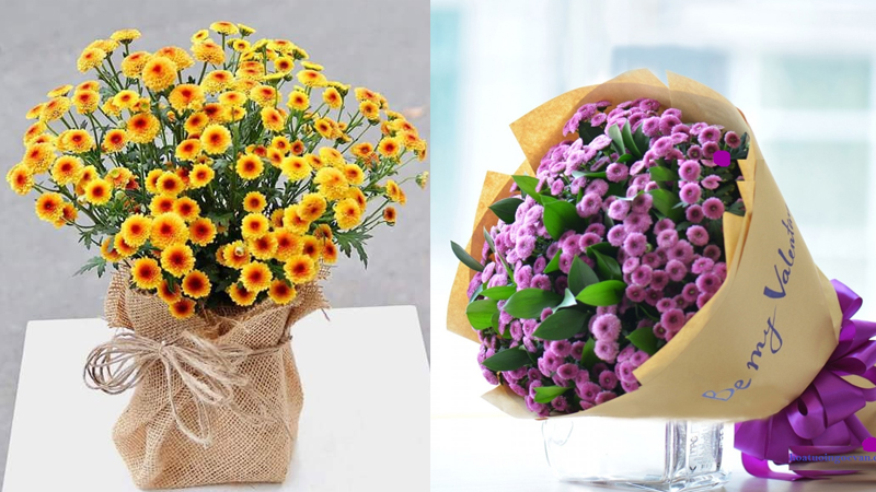 Hoa cúc Calimero