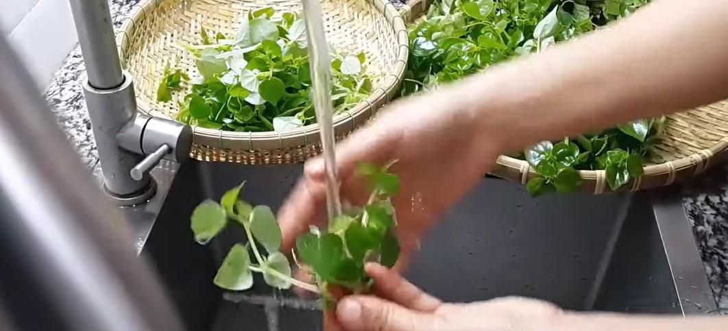Bước 1 Sơ chế nguyên liệu Gòi rau càng cua dầu giấm