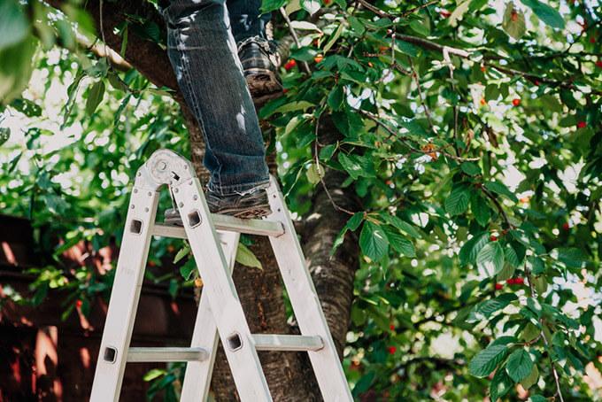 Công dụng hỗ trợ hái quả, tỉa lá cây cảnh