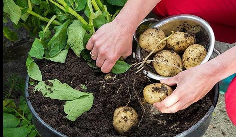 Cách trồng khoai tây đơn giản tại nhà từ củ mọc mầm