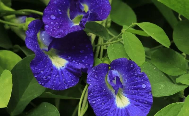 Đậu biếc còn được gọi là đậu hoa tím, bông biếc