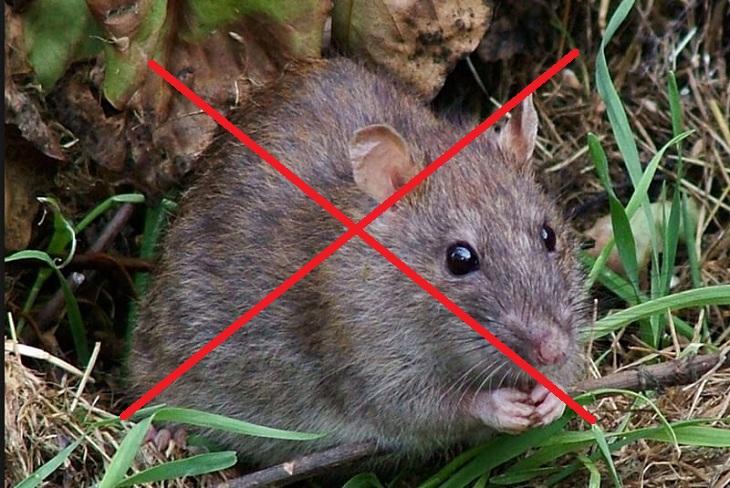 Chuột to không đuổi được
