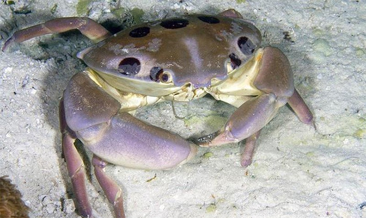 Các loại cua biển nếu ăn phải còn nguy hiểm hơn cả thuốc độc