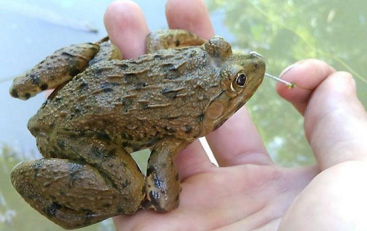 Đặc điểm nhận dạng của ếch đồng