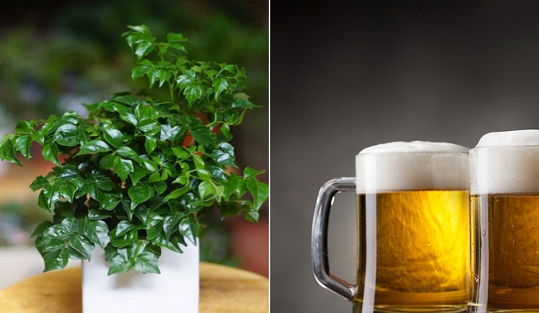Mẹo đuổi sâu rệp trên cây bằng bia, đảm bảo hết sạch không còn một con
