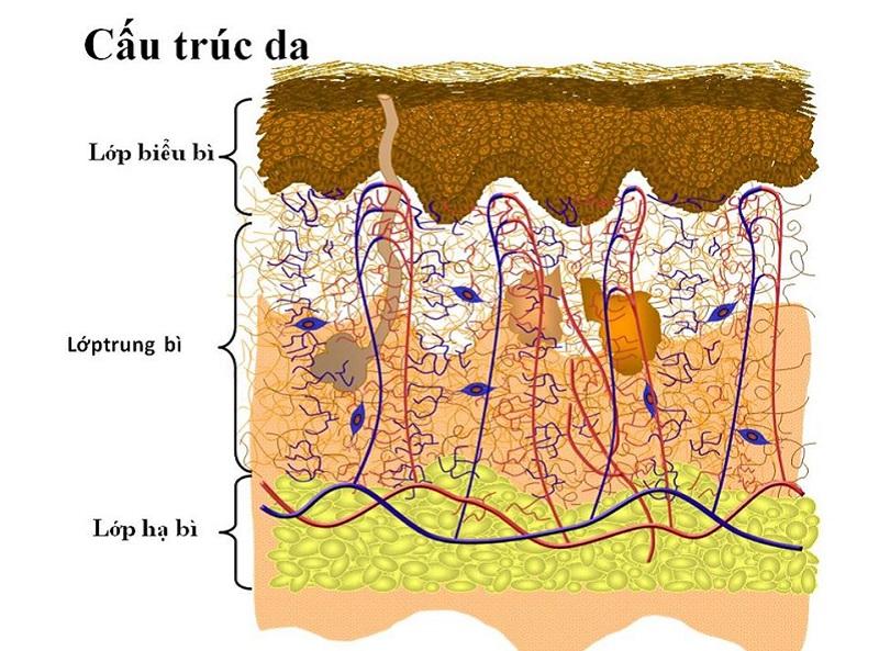 Làn da của bạn được cấu tạo với 3 lớp