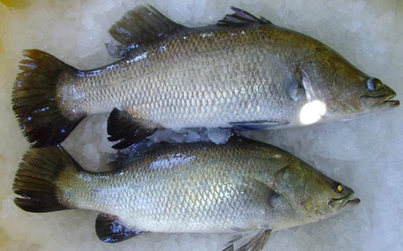 Cá chẽm là cá gì?