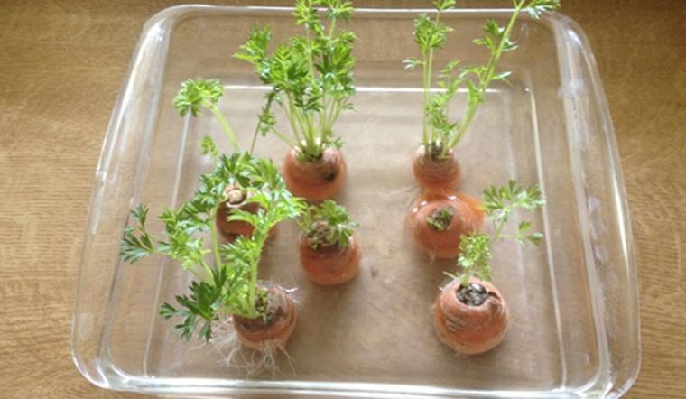 Các loại cây có thể trồng bằng nước (thuỷ canh) ngay tại trong bếp