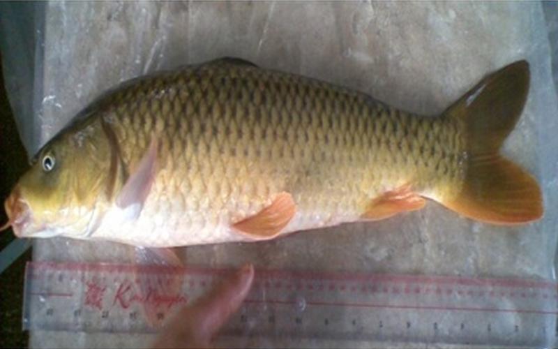 Cá chép hồ Lắk