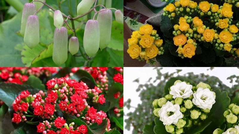 Sống đồi thường có thời gian nở hoa rất lâu