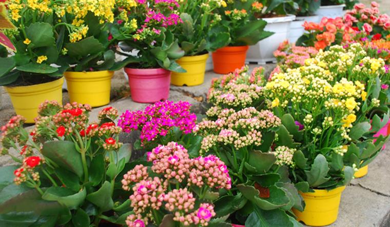 Vì sao cây hoa sống đời lại được nhiều người ưa chuộng vào ngày Tết?