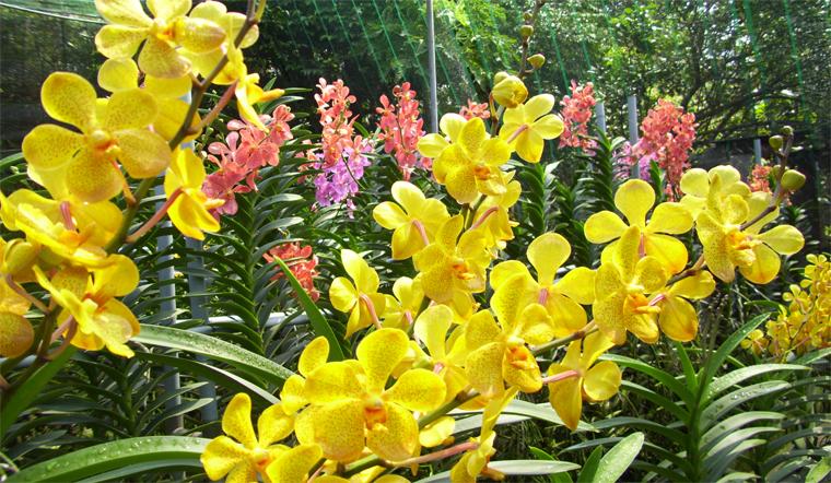 Ý nghĩa của hoa lan ngày Tết cổ truyền Việt Nam