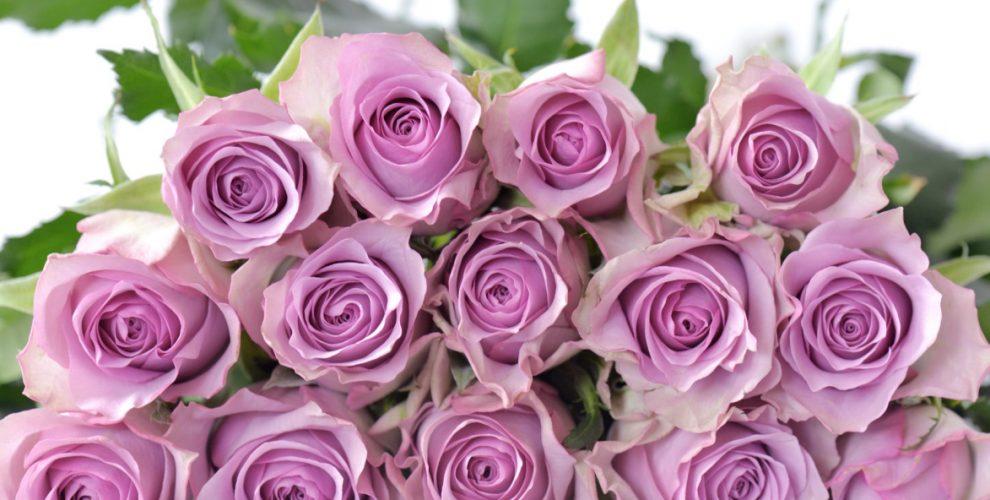 Hoa hồng Lavande