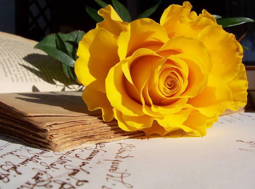Hoa hồng màu vàng