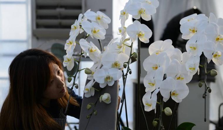 Cách chăm sóc hoa lan hồ điệp sau tết để cây tiếp tục ra hoa