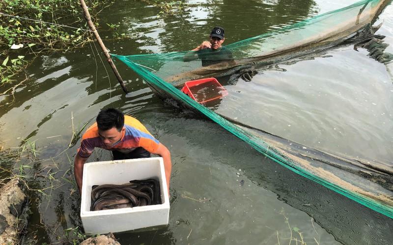 Hầu hết cá chình được đánh bắt tại các tỉnh miền Tây và Đông Nam Bộ
