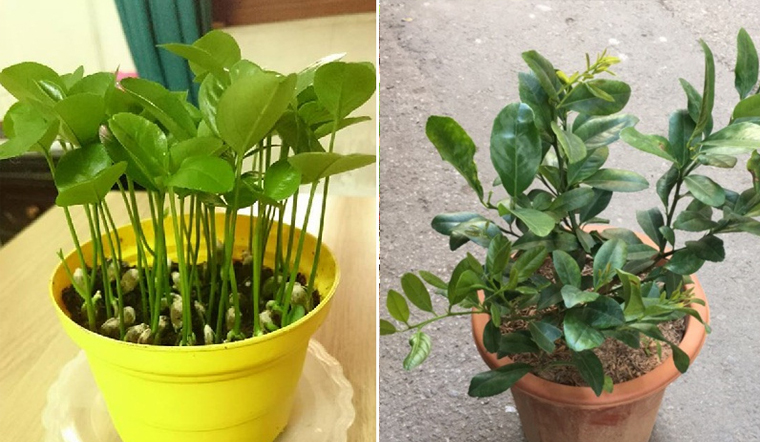 Chanh dùng xong đừng vứt mà lấy hạt trồng, vừa đẹp lại có chanh dùng thả ga