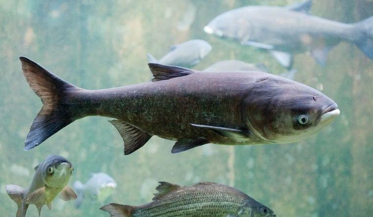 Cá mè là cá gì? Công dụng và các món ăn ngon từ cá mè