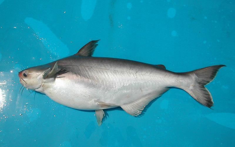 Cá hú là loài cá nước ngọt