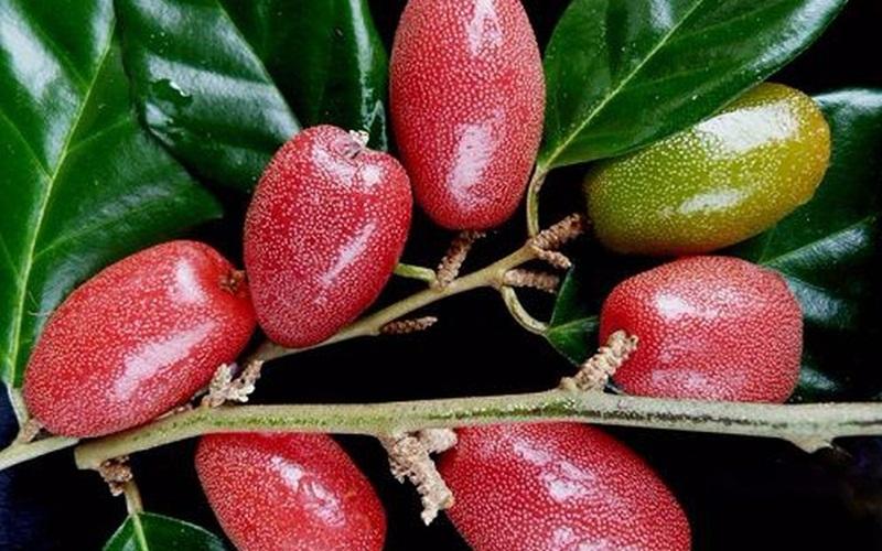 Giá trị dinh dưỡng của quả nhót