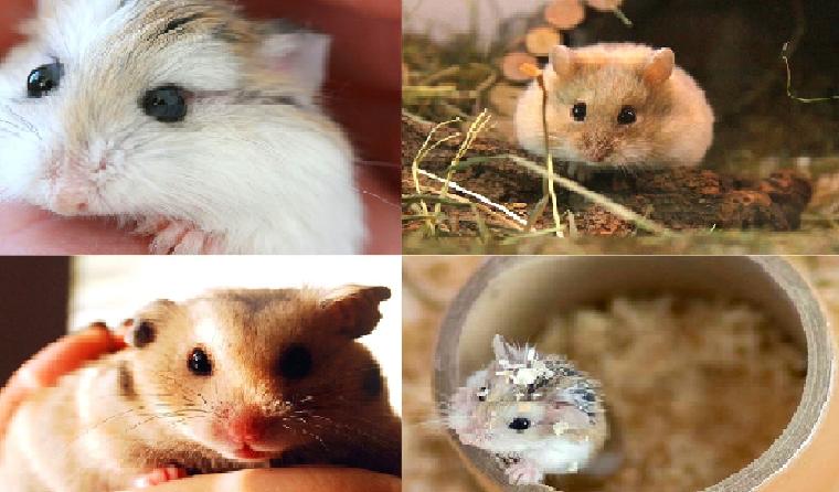Các giống hamster phổ biến được yêu thích tại Việt Nam