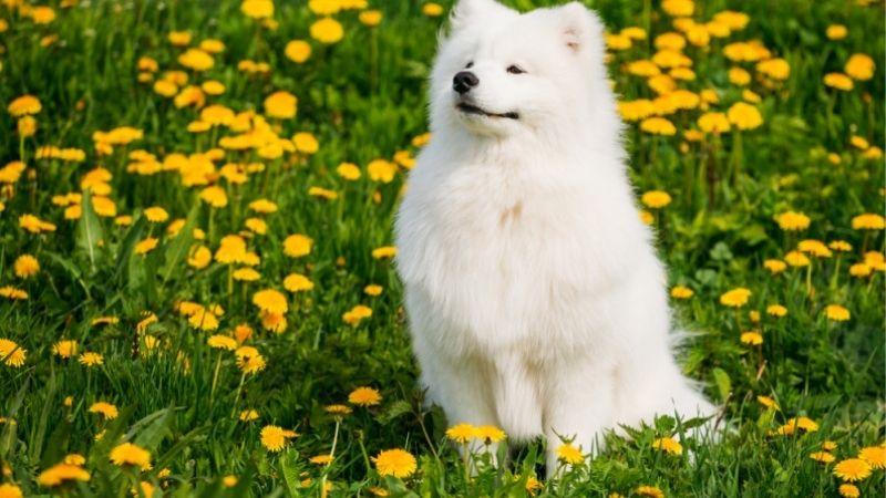 Top 10 giống chó dễ thương,         dễ thương nhất thế giới