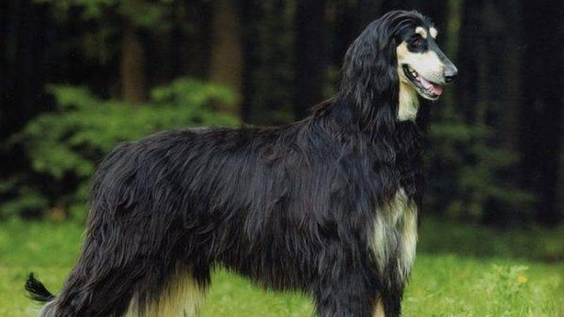 Chó săn Afghanistan