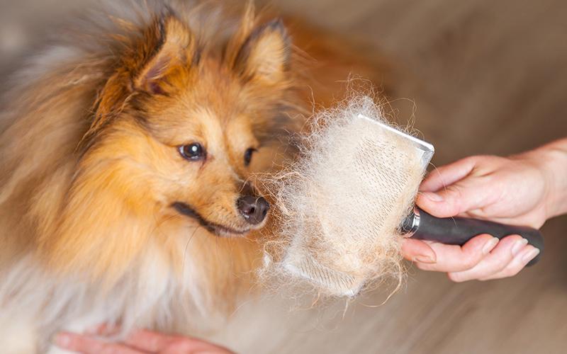 Chó bị viêm da có mủ, rụng lông là bệnh gì? Nguyên nhân, cách điều trị