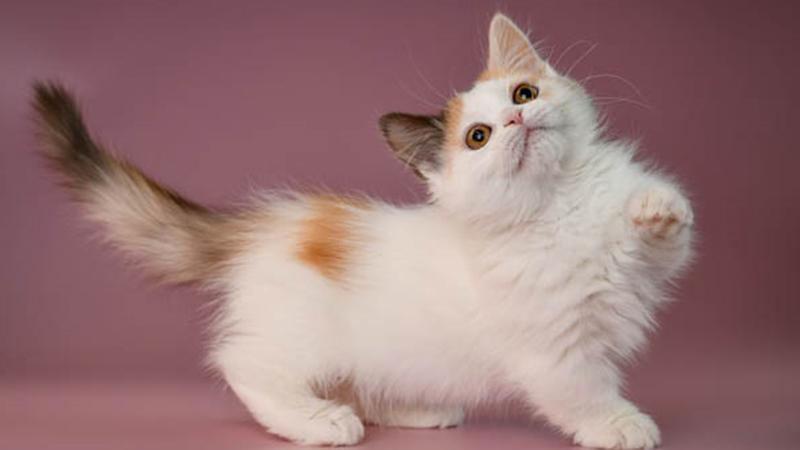 Đặc điểm của mèo Munchkin