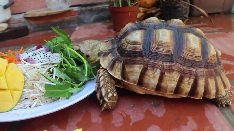 Các loại thức ăn cho rùa cảnh tốt và dễ mua