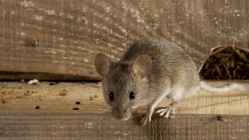 chuột