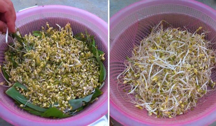Tự trồng giá bằng lá chuối vừa đảm bảo vệ sinh lại rất đơn giản, 3 ngày là có ăn
