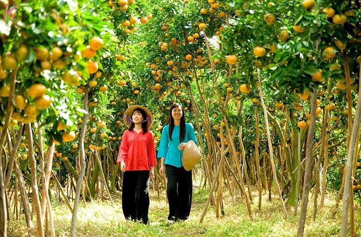 Một vườn trái cây tại Cần Thơ mùa thu hoạch