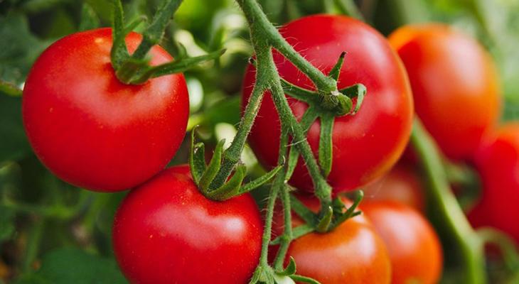 Cà chua chống lão hóa