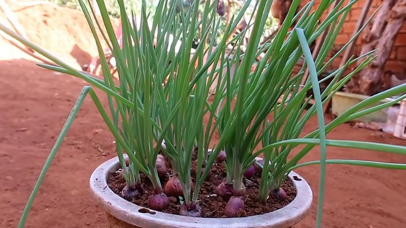 Hành lá được trồng bằng chậu đất