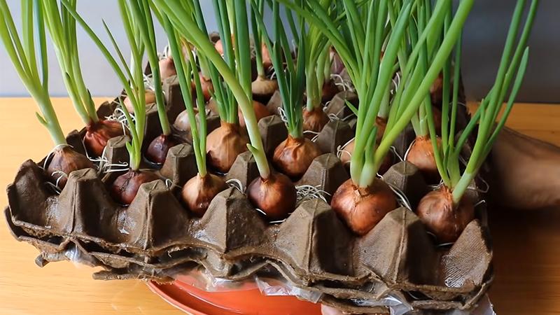 Hành lá được trồng trong vỉ đựng trứng bằng giấy