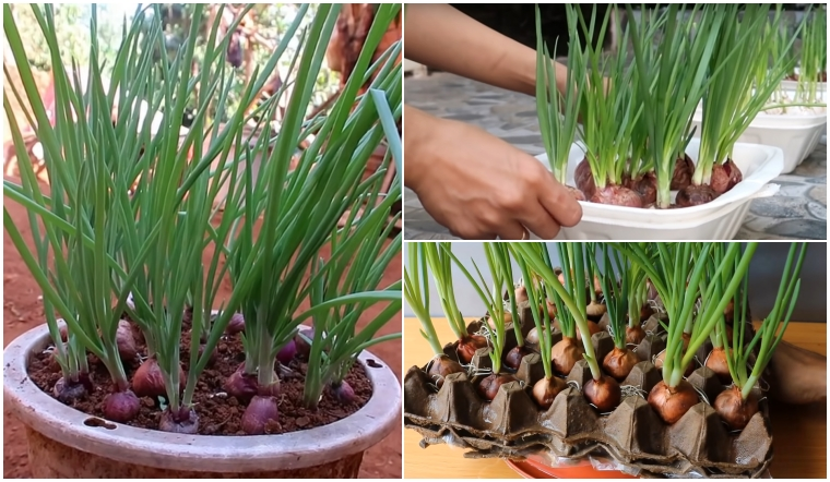 3 cách trồng hành lá từ củ hành tím đơn giản tại nhà, làm là thành công