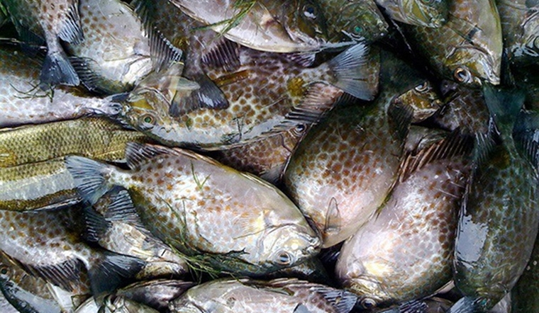 Cá dìa là cá gì? Làm món gì ngon? Giá bao nhiêu?