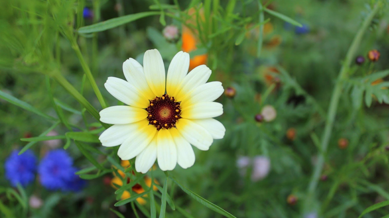 Đặc điểm hoa cúc dại