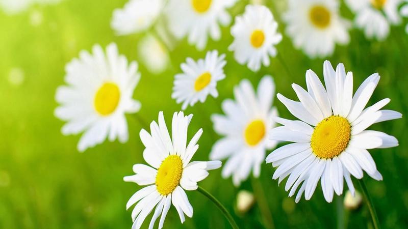 Ý nghĩa hoa cúc dại