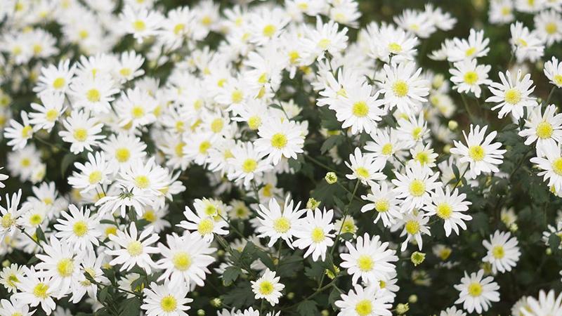Công dụng của hoa cúc dại