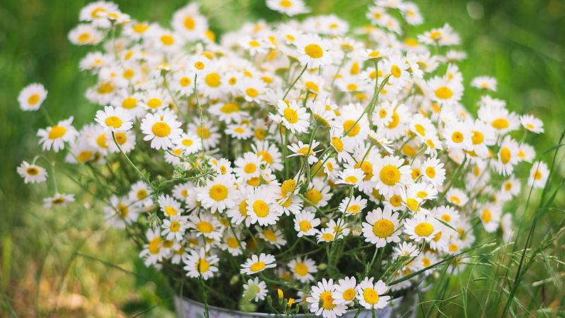 Một số hình ảnh đẹp về hoa cúc dại