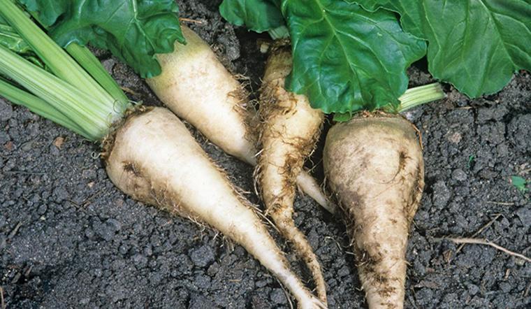 Củ cải đường (sugar beet) là gì? Cách phân biệt với củ cải trắng, củ dền