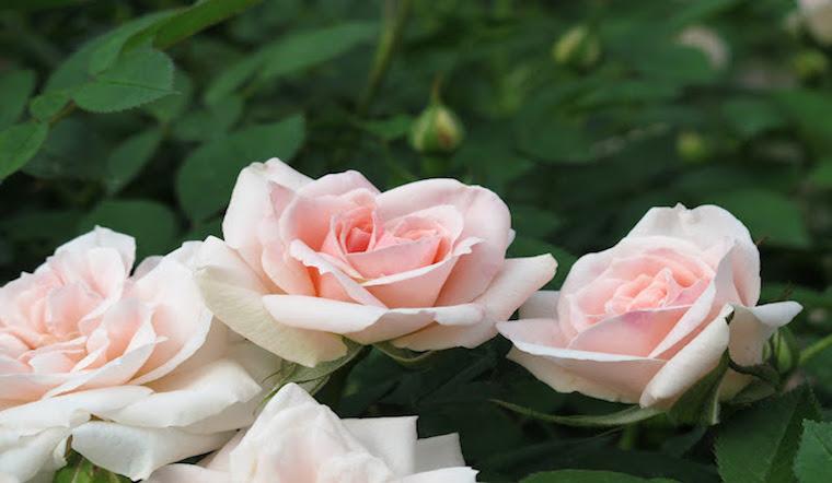 Ý nghĩa, tác dụng và cách trồng hoa hồng tỉ muội
