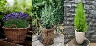 Top 16 cây trồng trong nhà đuổi muỗi hiệu quả nhất